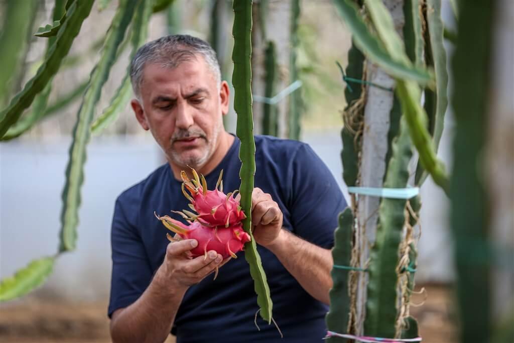 Bursa Ejder Meyvesi Dragon Fruit Pitaya ve Fidesi